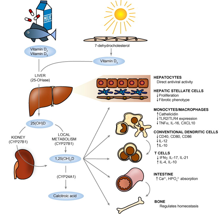 liver synthesises The liver is an important organ that performs hundreds of the liver synthesizes and secretes plasma proteins that act as clotting factors and help to.