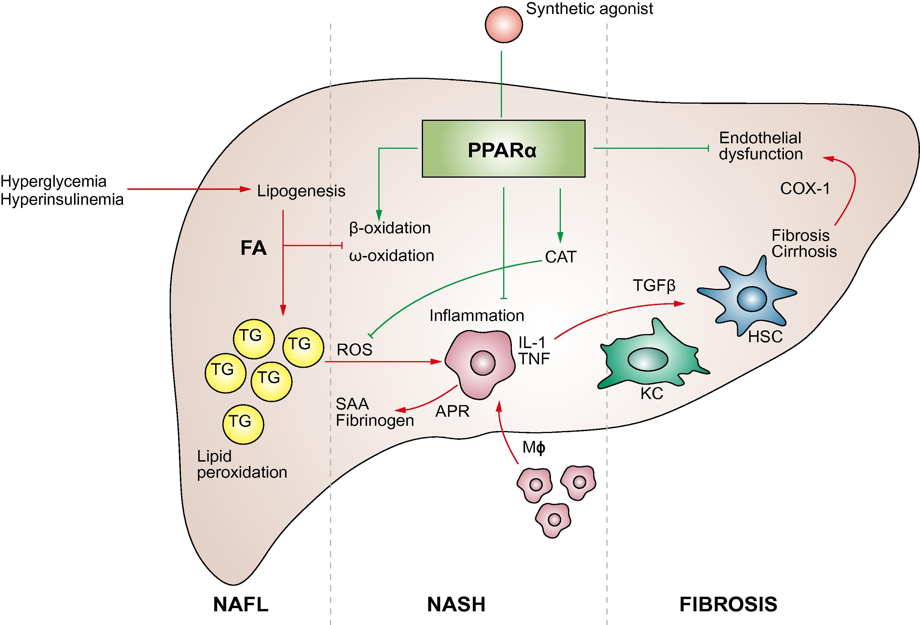 molecular mechanism of ppar u03b1 action and its impact on