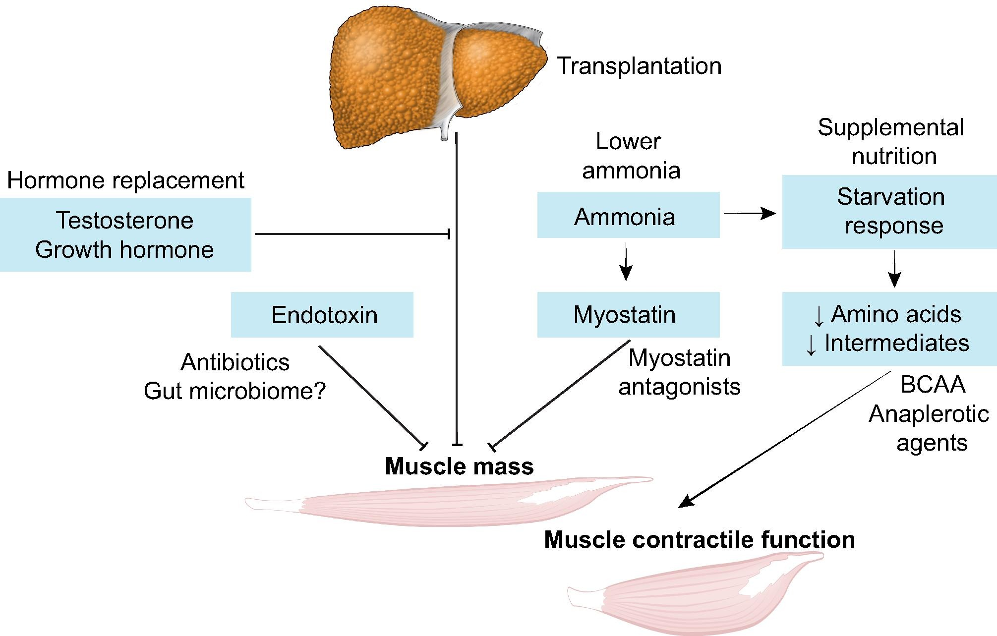 overview of sarcopenia The definition of sarcopenia continues to evolve a summary of the proposed mechanisms for age-related decline in muscle mass and strength is shown in box 1.