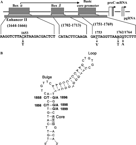 Specific Mutations In Enhancer II/core Promoter Of